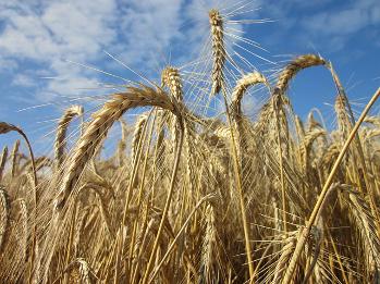 Glutenunverträglichkeit- wenn Getreide zur Lebensgefahr wird